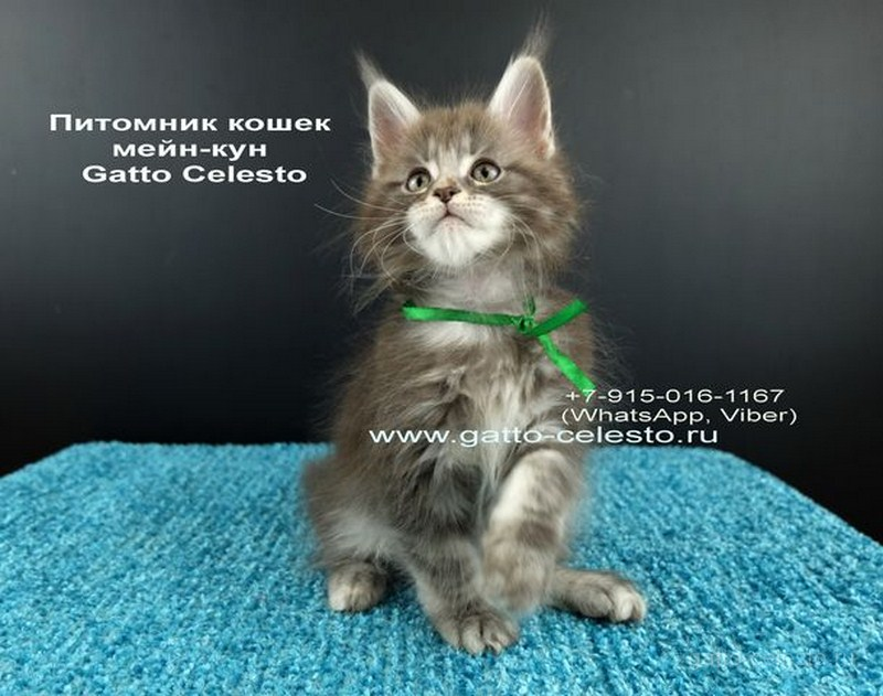 Котенок мейн кун картинка 7 Вальмонт Гатто Челесто 2 месяца