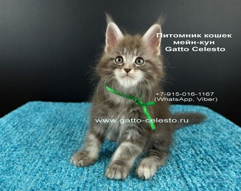 Котенок мейн кун картинка 8 Вальмонт Гатто Челесто 2 месяца