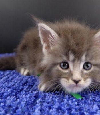 Котенок мейн кун картинка 1 Вальмонт Гатто Челесто 1 мес