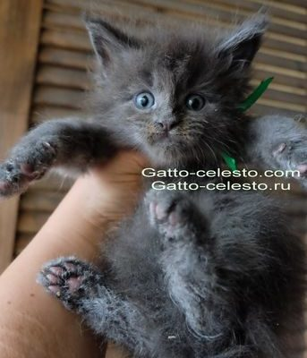 Gatto-Celesto-Casanova-3-foto-6-weeks [640x480]